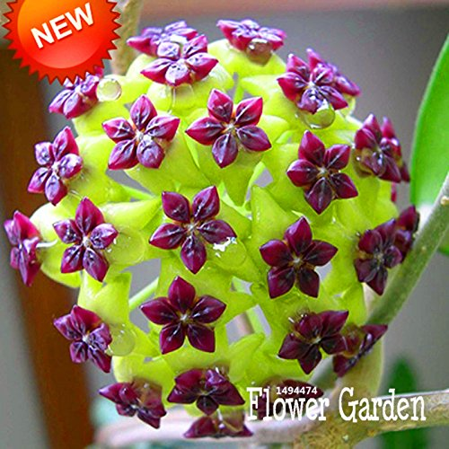 Big Sale!Hoya Seeds,Potted Flowers Bonsai plants Hoya Seed, Orchid Seed DIY Home Garden 100 Particles/Pack - Arcis New