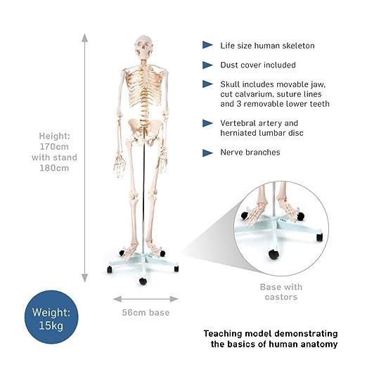 66fit menschliches Skelett mit Ständer (170 cm hoch) zum ...