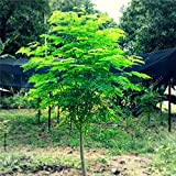 HOO PRODUCTS -10pcs/bag Moringa seeds moringa oleifera seeds Edible seed bonsai potted moringa tree seeds DIY plant for home garden Cheap!
