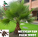 50 Mexican Fan Palm Seeds, (WASHINGTONIA ROBUSTA) from Hand Picked Nursery