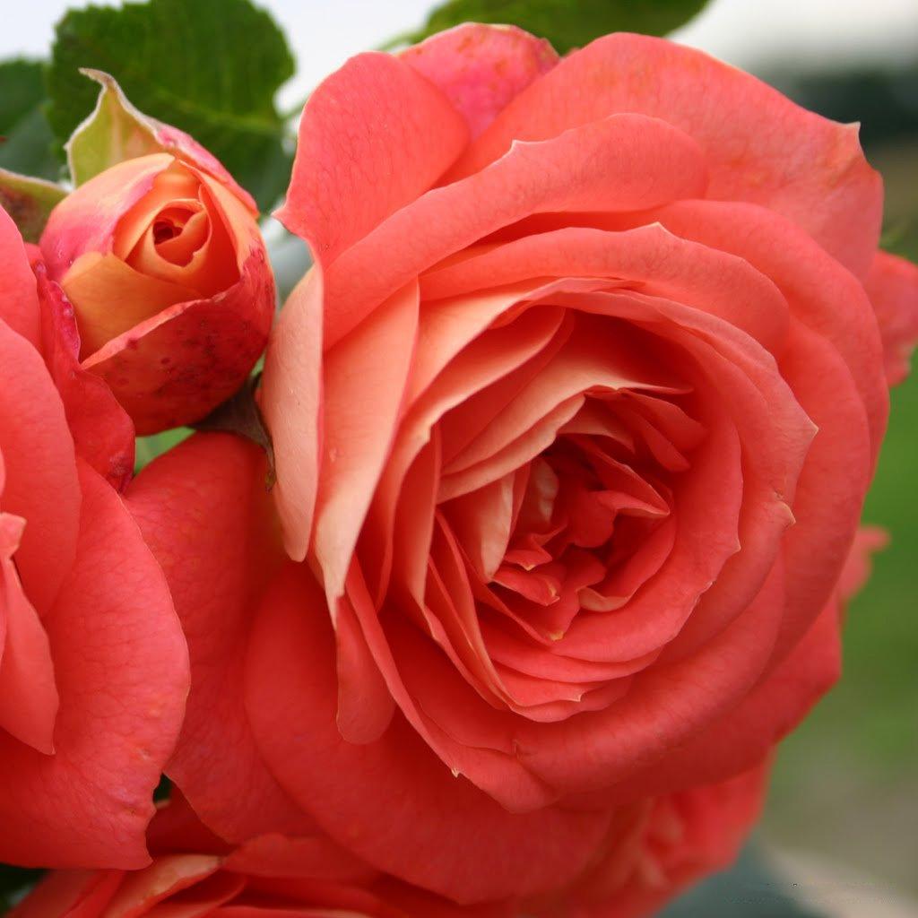 Kordes Rosen Sommersonne Beetrose lachsorange//gelb im verbl/ühen rosa 12 x 12 x 40 cm