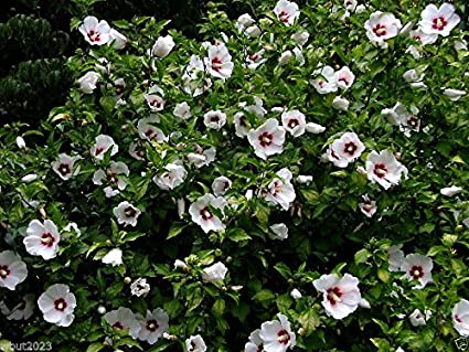 Amazoncom Hibiscus Syriacus Red Heart 20 Seeds Bloom Summer To