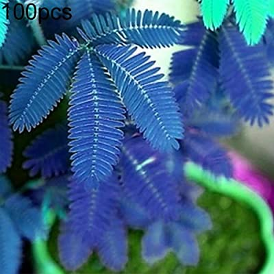 WskLinft 100Pcs Mimosa Pudica Seeds Garden Bonsai Pot Plants Home Decor for Planting for Indoor and Outdoor All Seeds are Heirloom, 100% Non-GMO! Blue Mimosa Pudica# : Garden & Outdoor