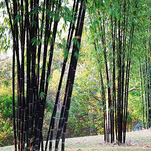 Loveble 100 Pcs Rare Purple Bamboo Seeds Garden Decoration Herb
