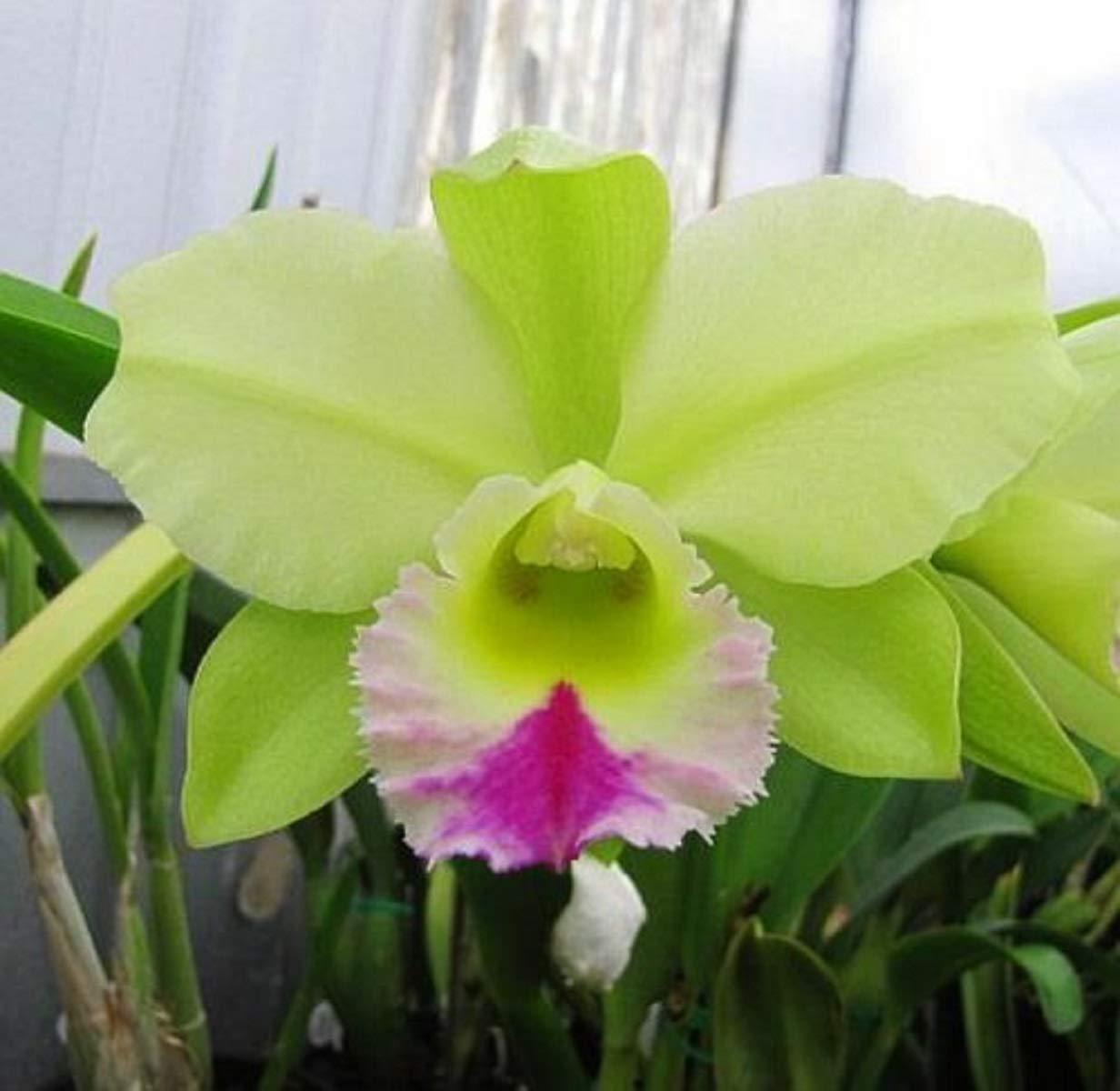 Unique Flowers ~ Cattleya Orchid ~ BLC. Dewey Forest 'Kudos'