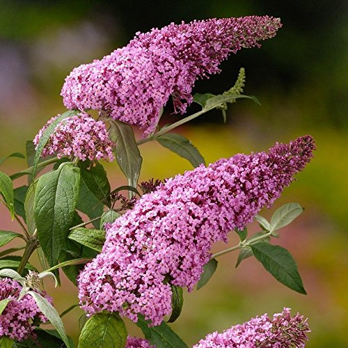(Butterfly Bush davidii 'Pink Delight',(1 Plant)A must for your butterfly garden)