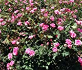 "'Pink Knock Out' Rose Bush - Disease Resistant! - 4"" pot"