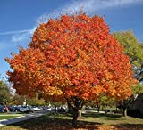 Sugar Maple Shade Tree (4-5 feet tall in full gallon containers) Fast growing Acer saccharum