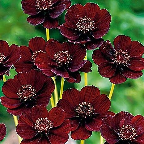 Rare Chocolate Cosmos Flower