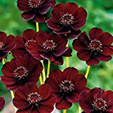 50 Seeds Chocolate Cosmos - Blooms All Summer Long And Has Rich Scent Like Chocolate, Diy Home Garden Flower