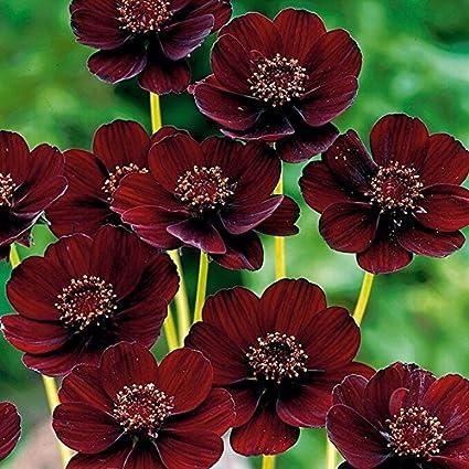 Rara chocolate Cosmos de flores Semillas-Blooms durante todo el verano y tiene rico aroma