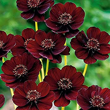 Rare chocolate cosmos flower seeds blooms perennial and has rich rare chocolate cosmos flower seeds blooms perennial and has rich scent like chocolatediy mightylinksfo