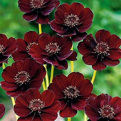 Amazon rare chocolate cosmos flower seeds blooms perennial and rare chocolate cosmos flower seeds blooms perennial and has rich scent like chocolatediy mightylinksfo