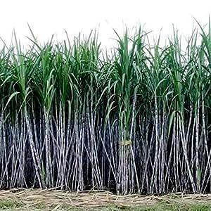 BigFamily Semillas de caña de azúcar Professional 6-18 Feet 1000Pcs / Pack Plants Easy Care