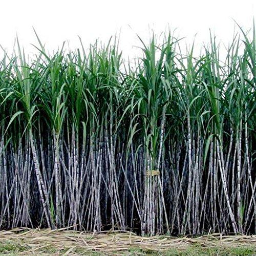 (BigFamily 6-18 Feet Tall 1000Pcs Seeds Sugar Cane Seeds Rum Syrup Rock Candy Sugar Crystals)