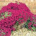 25+ Aubrieta Rock Cress Bright Red Perennial Flower Seeds / Ground Cover