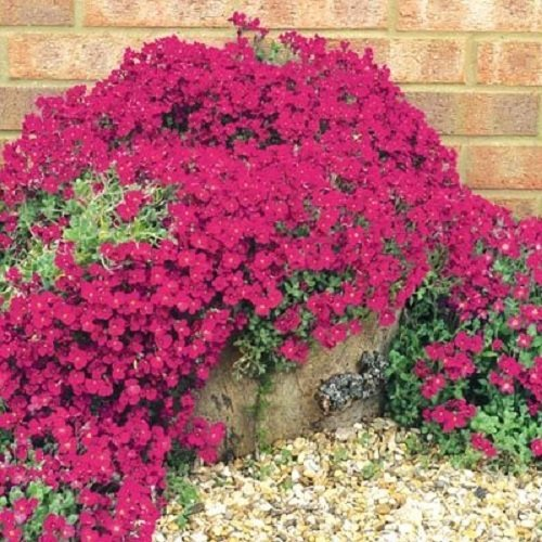 25+ Aubrieta Rock Cress Bright Red Perennial Flower Seeds / Ground Cover