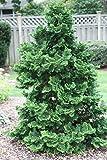 Hinoki Cypress, Chamaecyparis Obtusa, Tree Seeds (Evergreen, Bonsai) get 300 Seeds