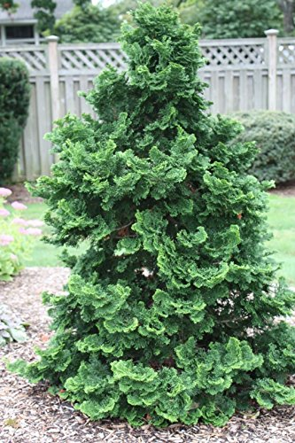 Hinoki Cypress, Chamaecyparis Obtusa, Tree Seeds (Evergreen, Bonsai) get 300 Seeds - Hinoki Cypress Tree