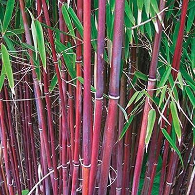 Amazon Com Seed House Kouye Exotic Moso Bamboo Rarities Bamboo