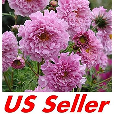 30 Seeds F116, Cosmos Double Click Rose Bonbon Seeds : Garden & Outdoor