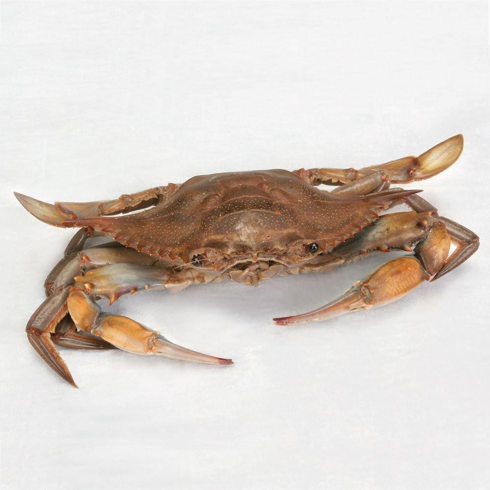 Preserved Blue Crab (Callinectes): Science Classroom Specimens ...