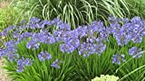 Agapanthus Peter Pan Qty 60 Live Plants Groundcover Grass