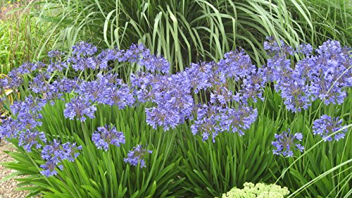 Agapanthus Peter Pan Qty 60 Live Plants Groundcover Grass by Florida Foliage