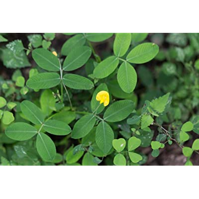 6 Ecoturf Ornamental Peanut : Garden & Outdoor
