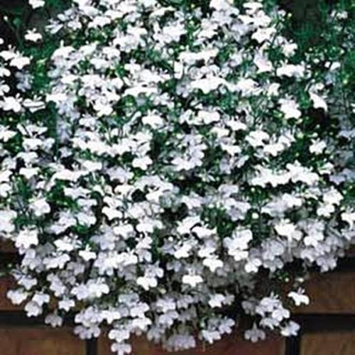 Lobelia Fountain Series White Annual Seeds by pasegreenhouses