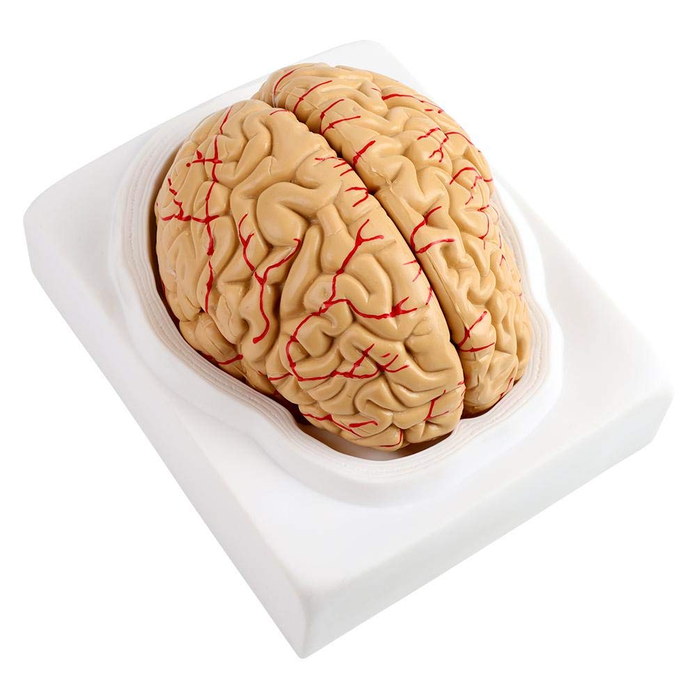 Medical Anatomical Brain Model 8parts Anatomical Brain Arteries