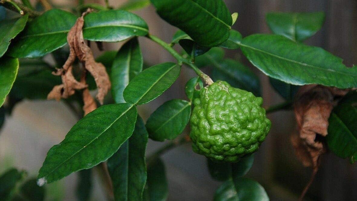 RWS 20 Kaffir Lime Tree Seeds