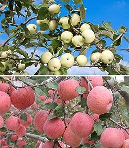 40+ Apple Tree Fruit Seeds Bonsai Garden Yard Outdoor Living Fruit Plant Home Garden