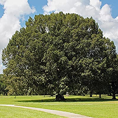 Chestnut Oak Tree - Quercus macrocarpa - Healthy Established Roots - One Trade Gallon - 1 Plant by Growers Solution