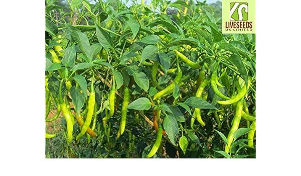 Liveseeds - Pusa Jwala Chilli de alto rendimiento 15 semillas: Amazon.es: Jardín