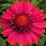 Burgundy Blanket Flower - Gaillardia - Quart Pot by Hirts: Perennials; Sun