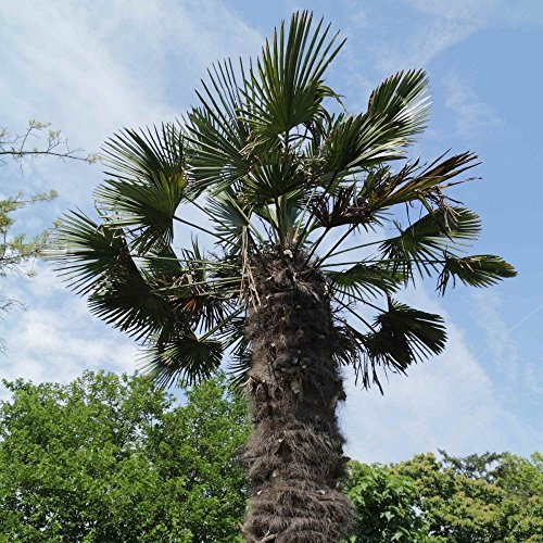 - New Chinese Windmill Palm Trachycarpus Fortunei 5+ Seeds