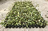 Variegated Asiatic Jasmine Minima Qty 60 Live Plants