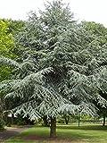 Atlas Cedar, Cedrus Atlantica, Tree 10 Seeds (Fast, Evergreen)