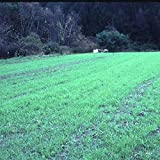 Winter Rye Seeds - 5 Lbs - Non-GMO Rye Grain Cover Crop Seeds