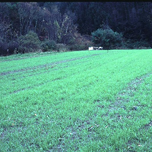 Cover Grass - Winter Rye Seeds - 5 Lbs - Non-GMO Rye Grain Cover Crop Seeds