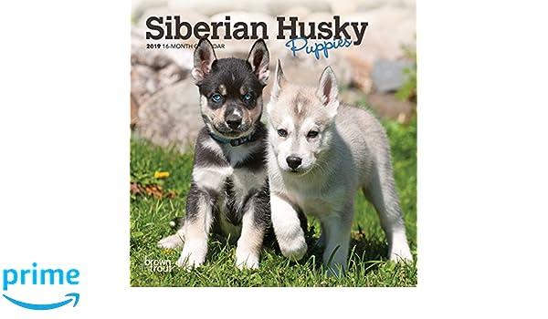 Siberian Husky Puppies 2019 7 X 7 Inch Monthly Mini Wall Calendar