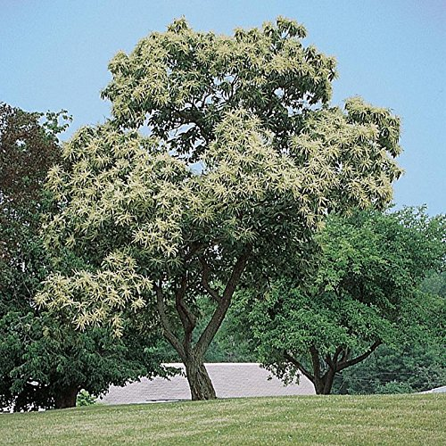 chinese-chestnut-tree-castanea-mollissima-heavy-established-roots-1-trade-gallon-pot-1-plant-by-grow