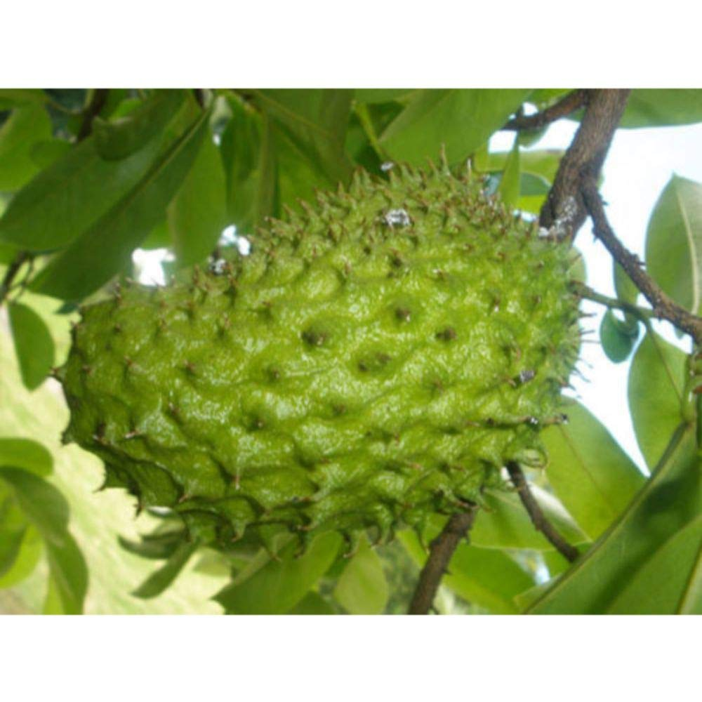 Dwarf-Soursop Tropical Fruit Tree 4 Feet Height in 5 Gallon Pot #BS1 by iniloplant (Image #1)