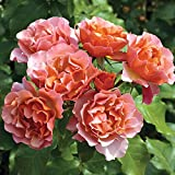 Tequila Supreme Rose Bush Vivid Orange Flowers All Summer! | Heat And Humidity Tolerant Shrub Rose Easy To Grow | 4 Inch Container Potted For Sale