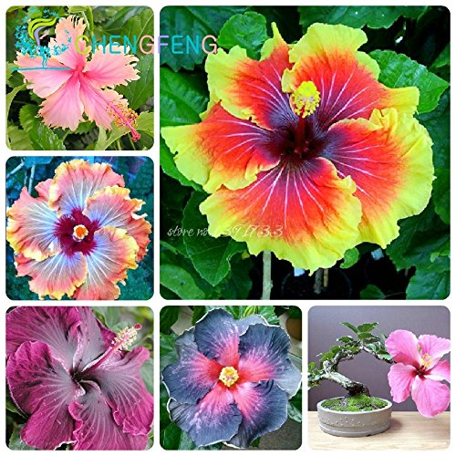 On Sale!!! 200pcs Hibiscus Seeds 24kinds Hibiscus Rosa-sinensis Flower Seeds Hibiscus Tree Seeds for Flower Potted Plants ()