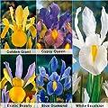 Bloomsz Care Free & Rewarding Dutch Iris Bulbs Collection Plant (50 Pack)