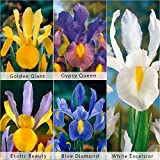 Bloomsz Care Free & Rewarding Dutch Iris Bulbs Collection Plant (50 Pack)