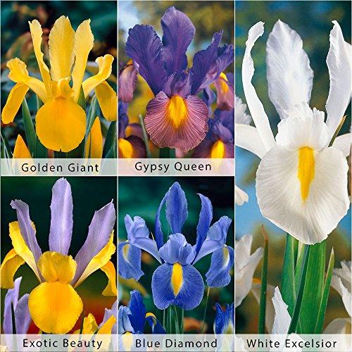 bloomsz-care-free-rewarding-dutch-iris-bulbs-collection-plant-50-pack