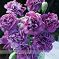 ADB Inc the Rarest Dianthus 'Purple Rain' Carnation Flower Seeds